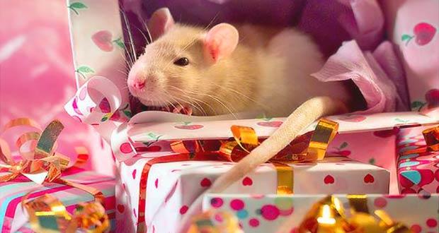Крыса бело-бежевого цвета среди подарков