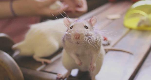Смешной маленький крысенок