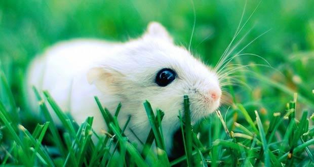 маленькая белая крыса в траве