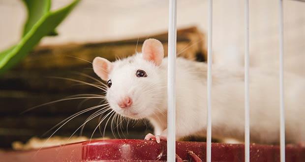 Белая Крыса в клетке