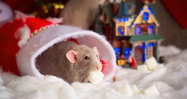 Крыса в новогоднем наряде 2020